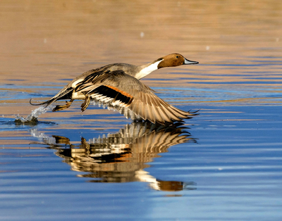 My Northern Pintail image has been selected by Audubon for their 2021 Calendar
